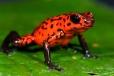 Oophaga pumilio, crvena otrovna žavba
